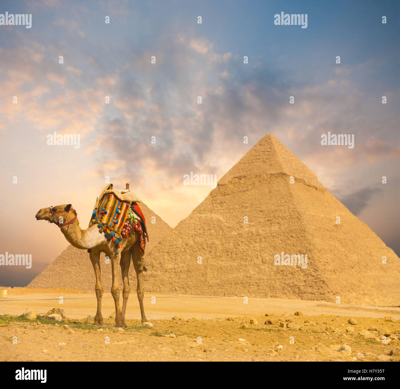 Wide sky sunset behind Egyptian Pyramids Khafre and colorfully outfitted standing camel at evening in Giza, Cairo, Stock Photo