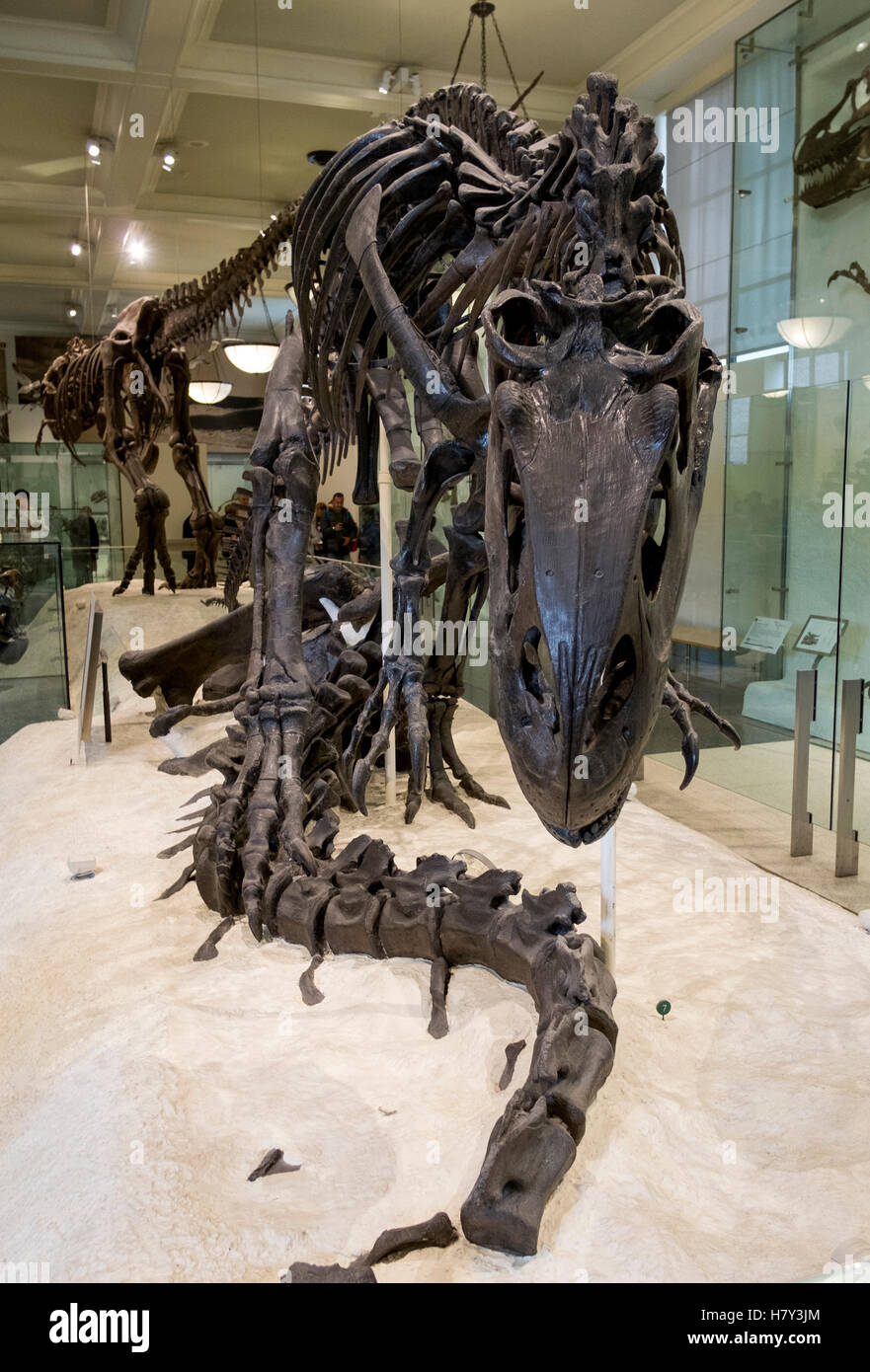 Allosaurus dinosaur skeleton in the New York Museum of Natural History - Stock Image