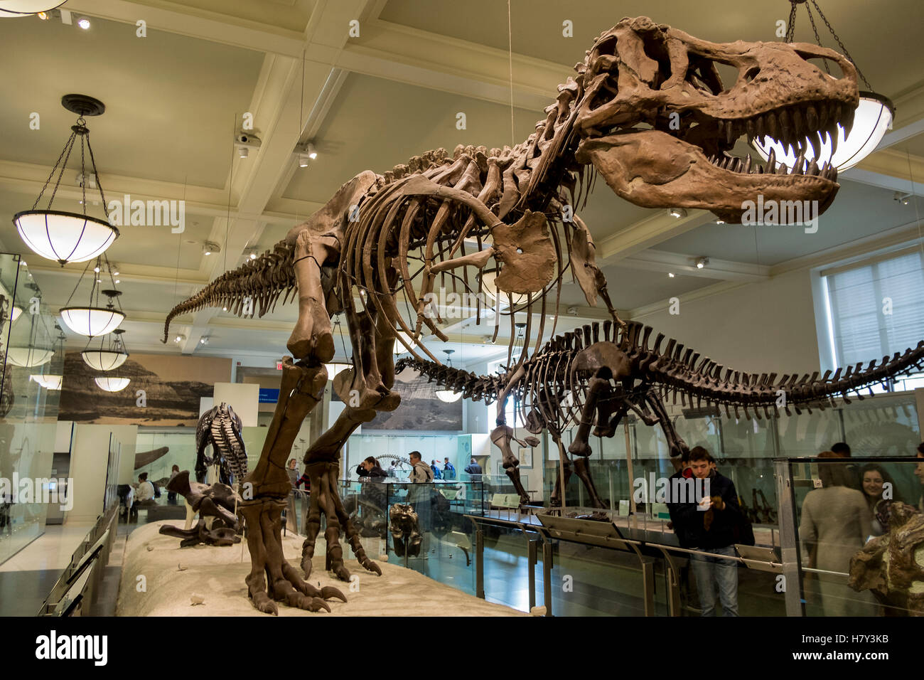 T Rex dinosaur skeleton in the New York Museum of Natural History - Stock Image