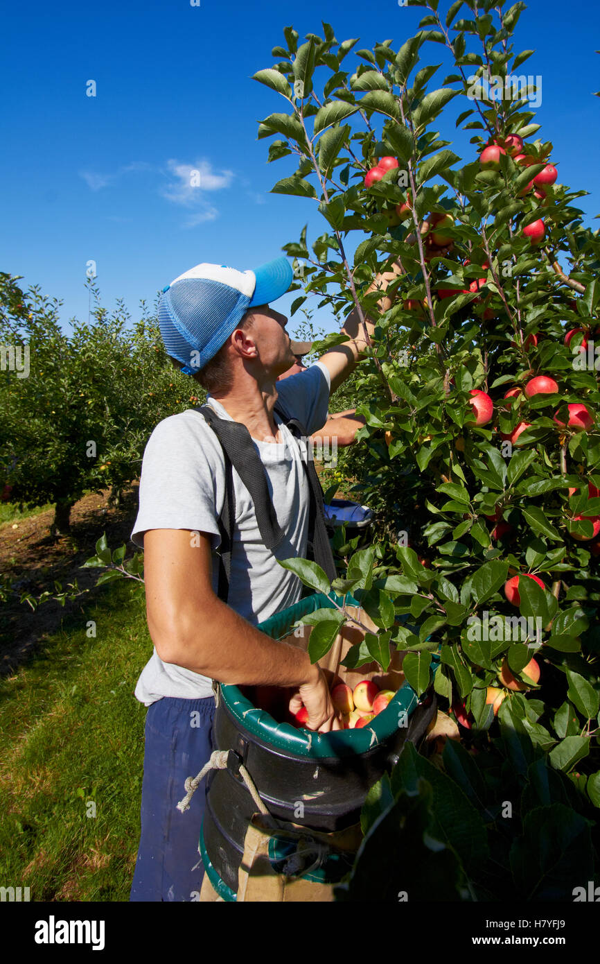 A team of apple pickers harvesting in a modern orchard. - Stock Image