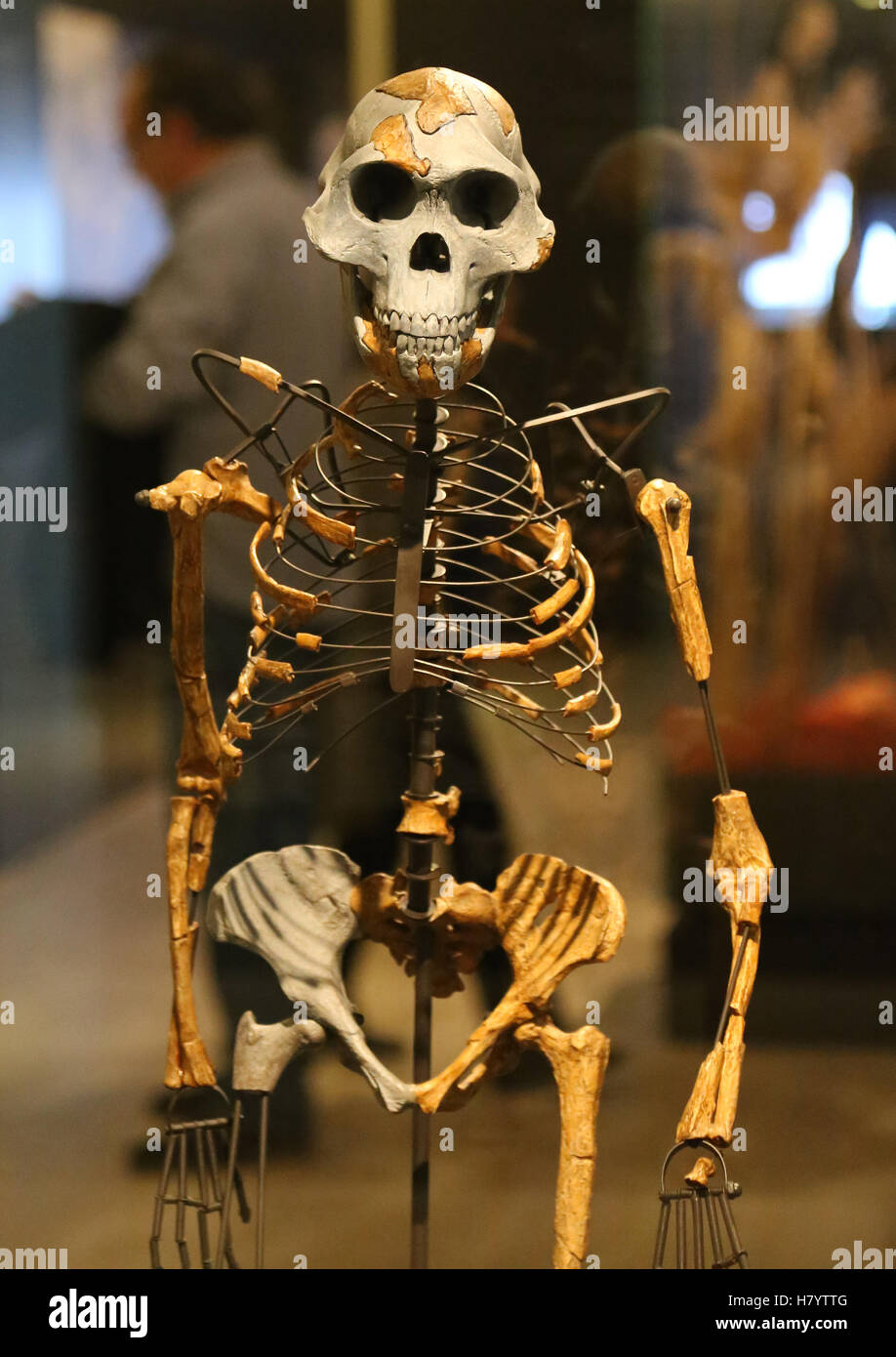 Australopithecus afarensis. Lucy. Adult female skeleton. 3.2 milion years ago. Ethiopia. Replica. National Archaeological - Stock Image