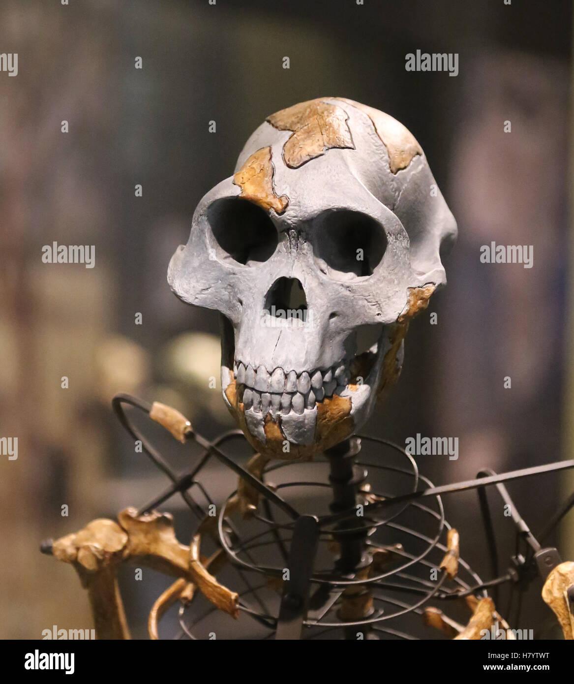 Australopithecus afarensis. Lucy. Adult female skeleton. 3.2 million years ago. Ethiopia. Replica. - Stock Image