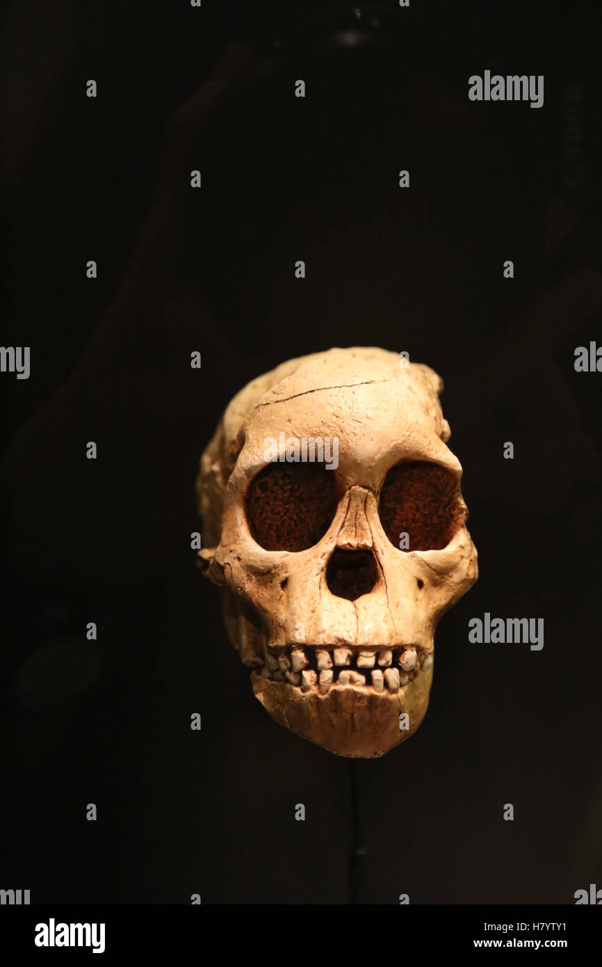Australopithecus Africanus. Taung Child.  2,3 milions years ago. Taung, South Africa. Replica. National Archaeological - Stock Image