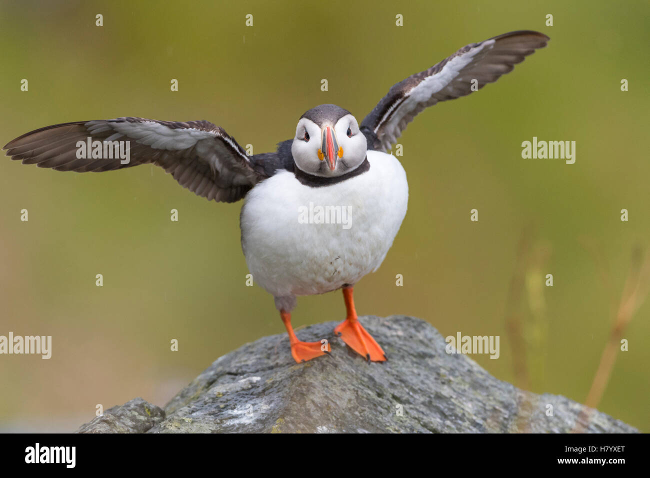 Puffin (Fratercula arctica) spreading wings, Runde bird island, Norway - Stock Image