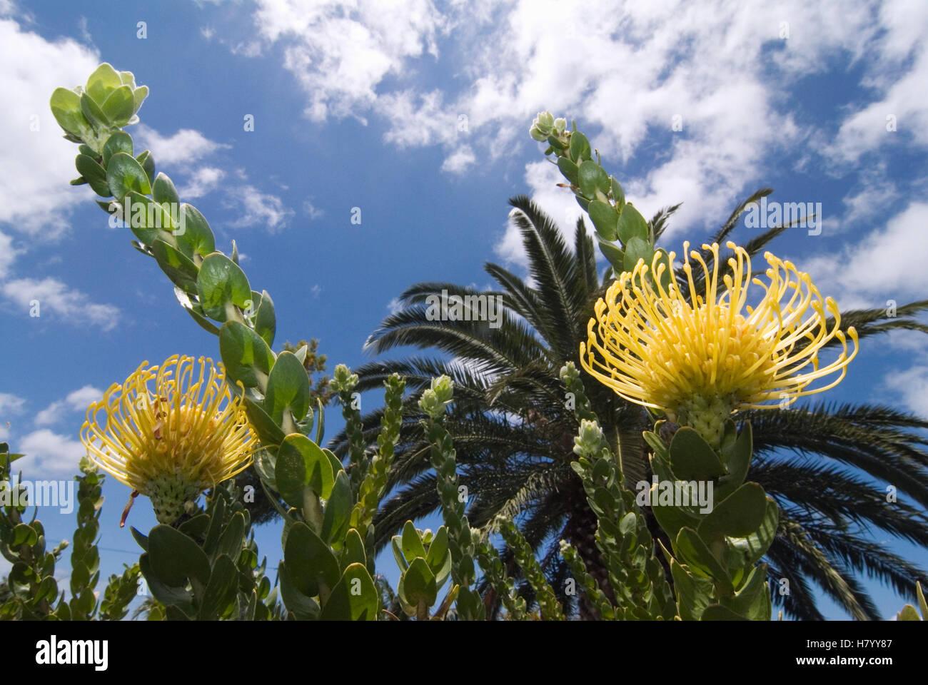 Yellow Flowers La Palma Canary Islands Spain Europe Stock Photo