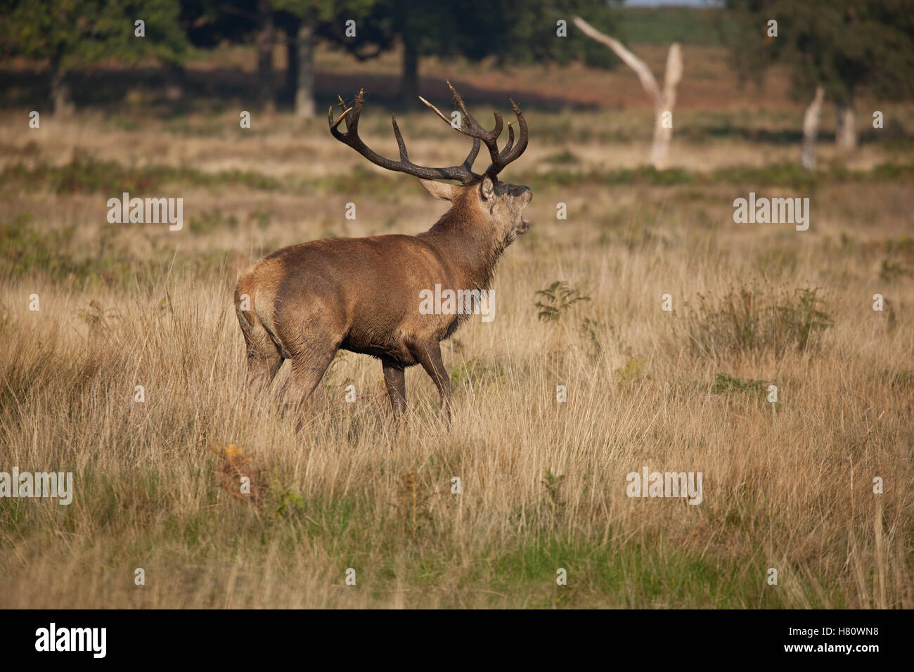 Red deers in Richmond Park during the rut season, London, UK Stock Photo