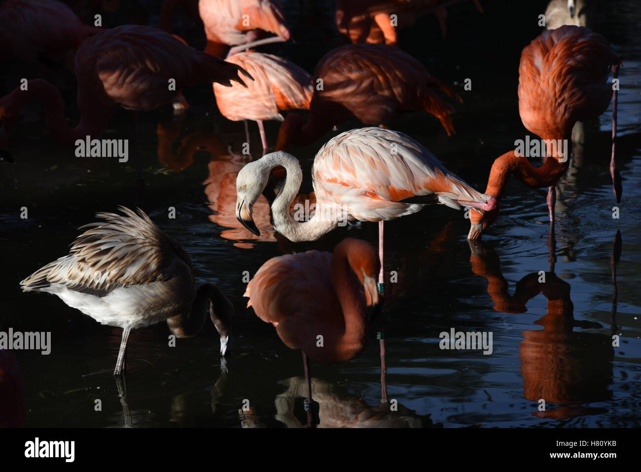 Madrid, Spain. 08th Nov, 2016. American flamingos pictured during sunset at Madrid zoo. The American flamingo, also Stock Photo