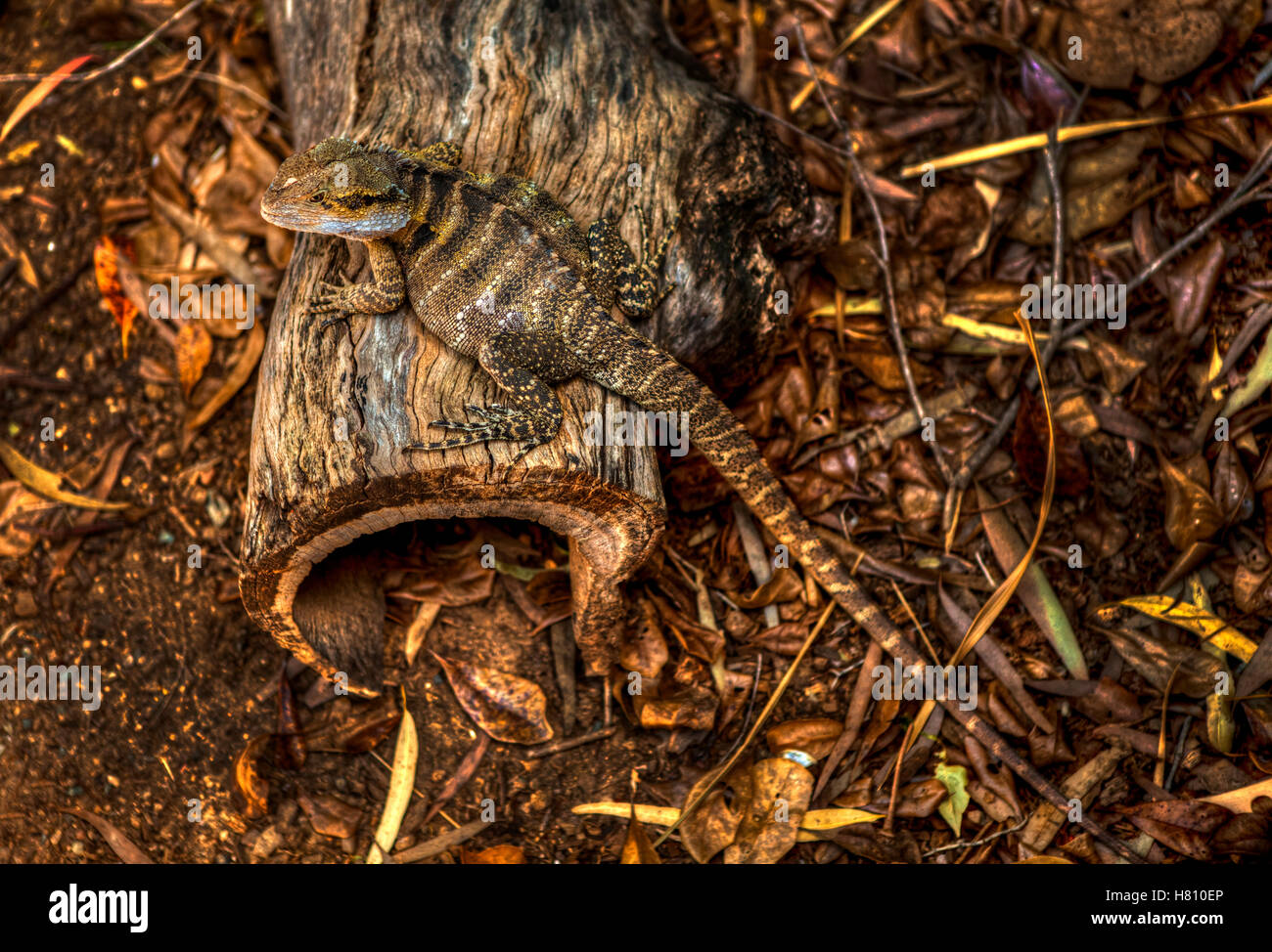 Reptile from Australia sitting on wooden log - Stock Image