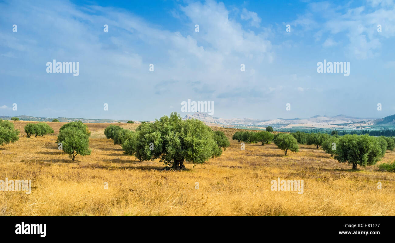 The scenic olive orchards in the northern part of Tunisia. - Stock Image