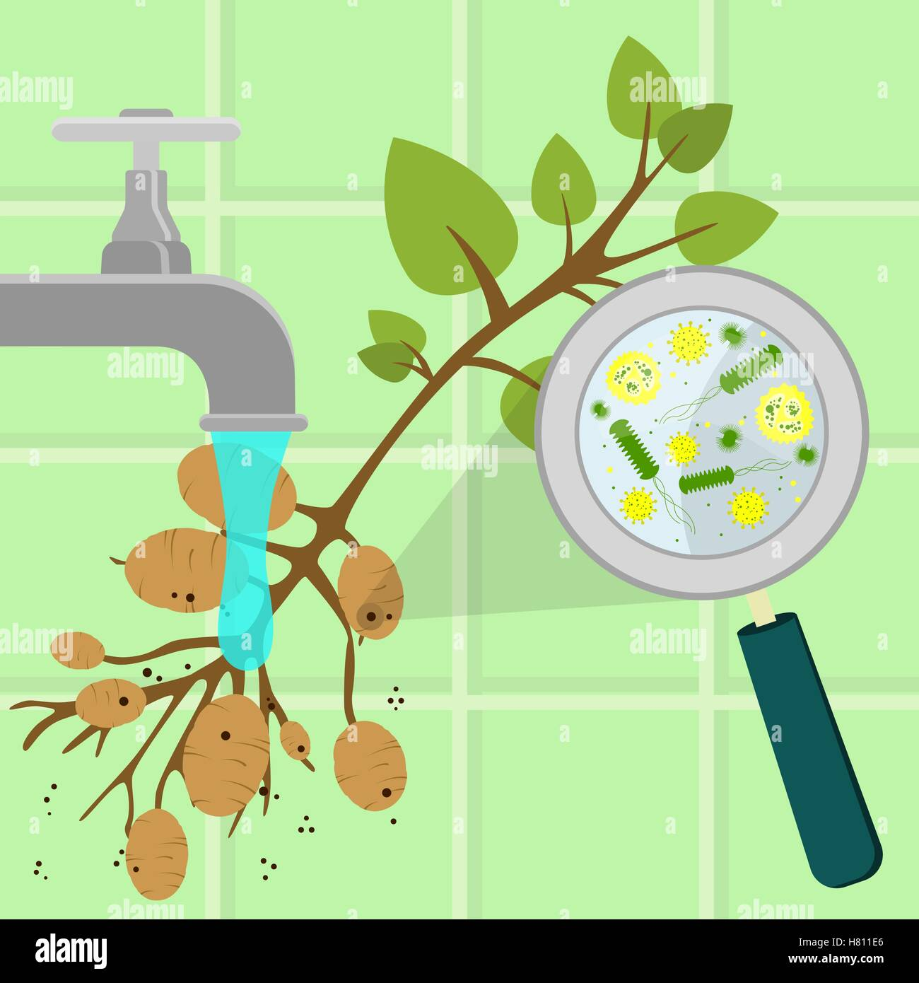 Contaminated potato tree being cleaned and washed in a kitchen. Microorganisms, virus and bacteria in the vegetable - Stock Image