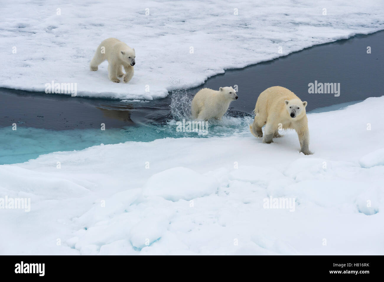 Mother polar bear (Ursus maritimus) with two cubs swimming and jumping over an open ice floe, Svalbard archipelago - Stock Image