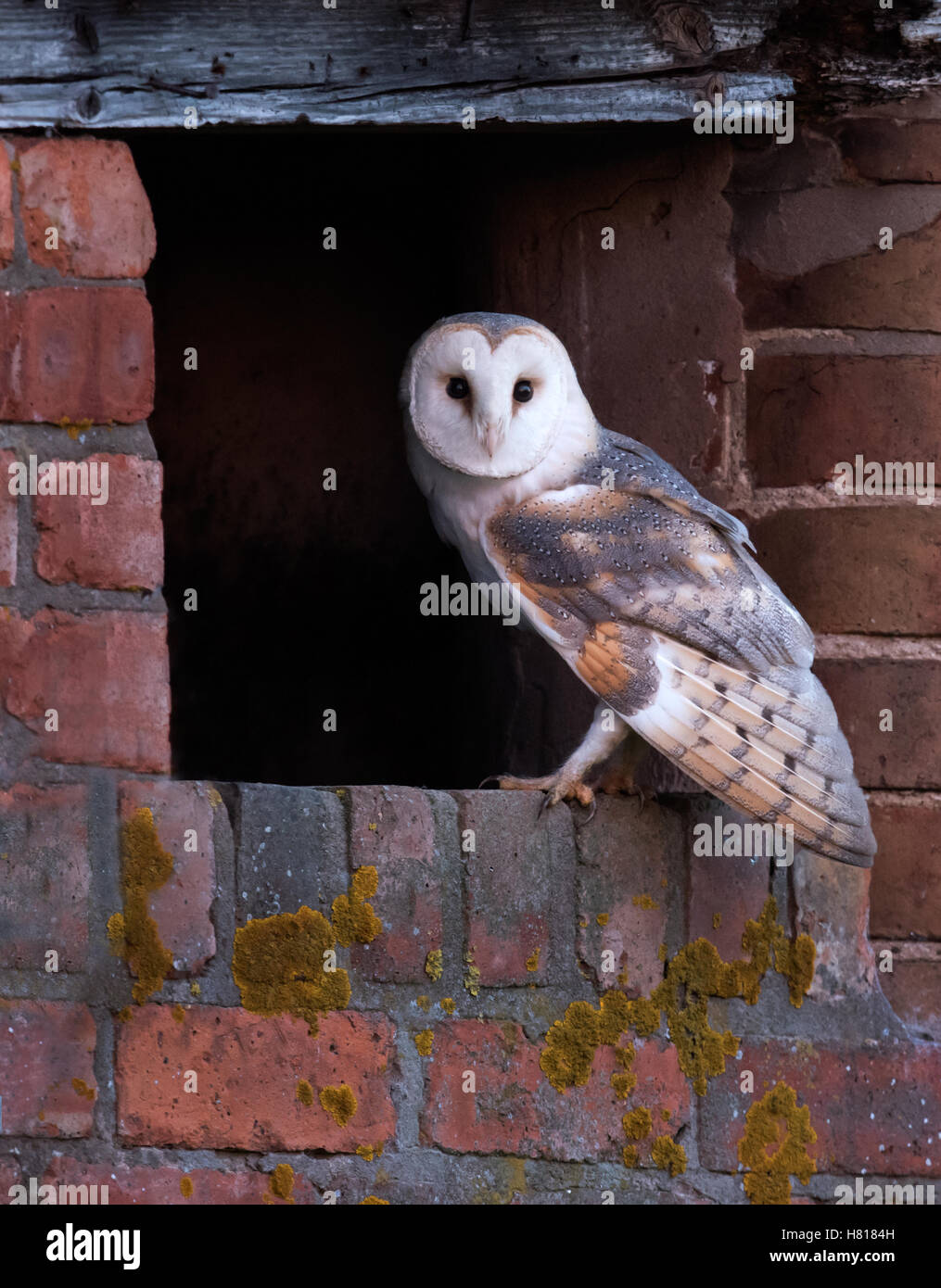 A wild adult Barn Owl Tyto Alba at entrance to it's roost/nest site Stock Photo
