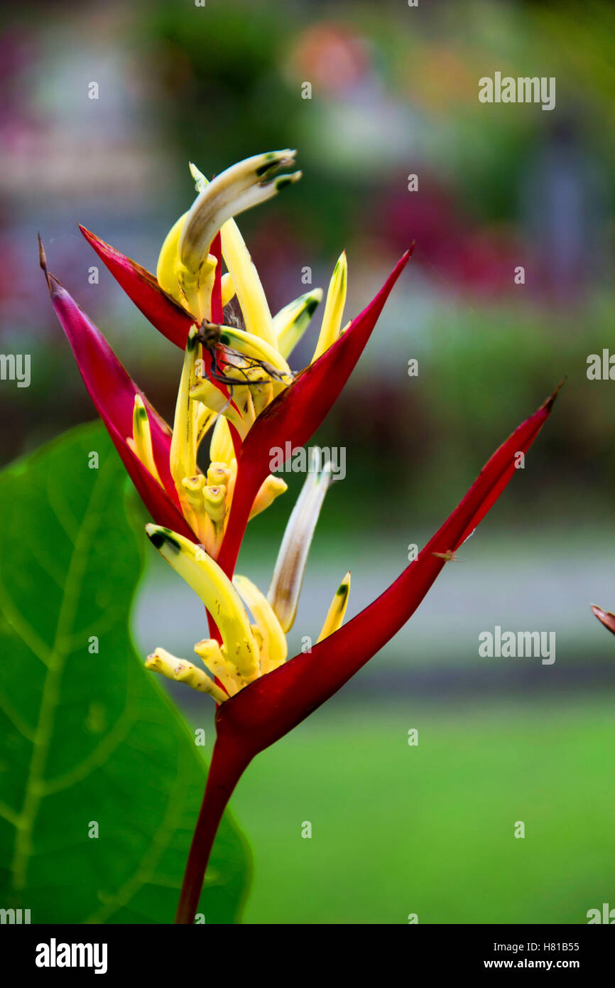 Heliconia flower - Stock Image