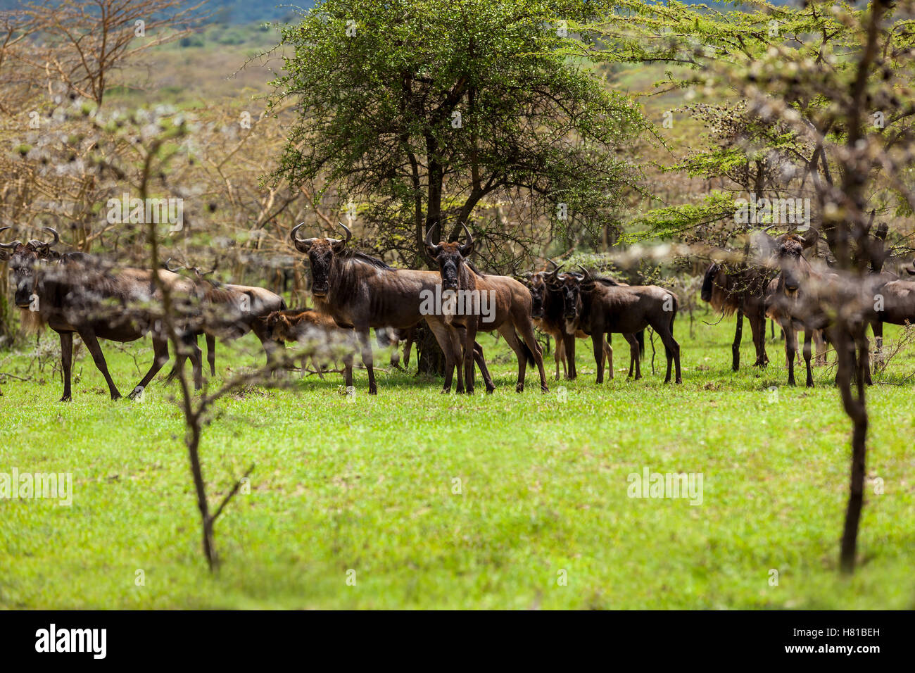 Wildebeest antelopes in the savannah Maasai Mara National Park, Kenya, animal, wildlife, mammal, safari, uganda, - Stock Image