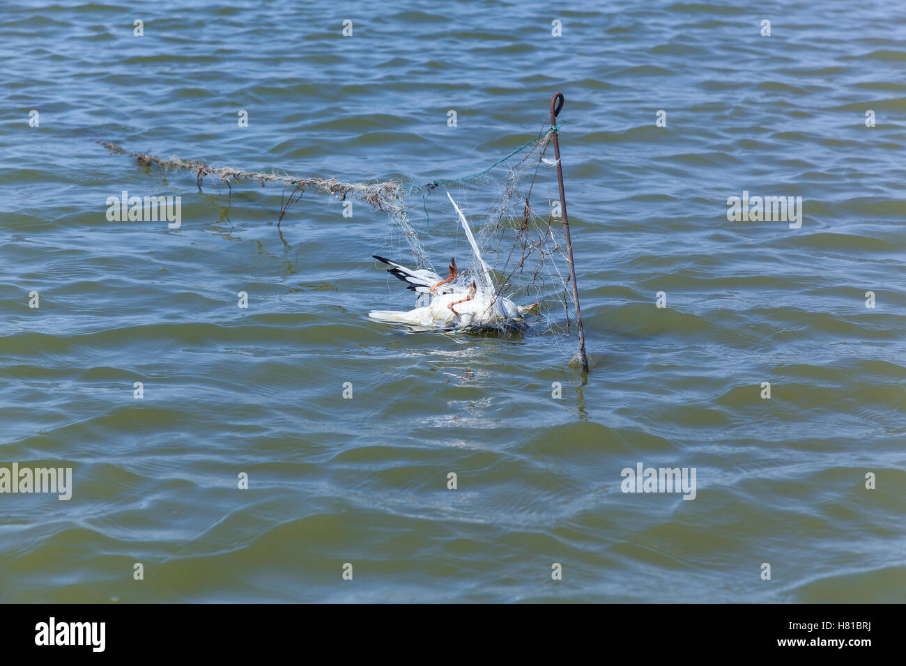 Dead seagull hit the fishing nets, dead bird because of the people - Stock Image