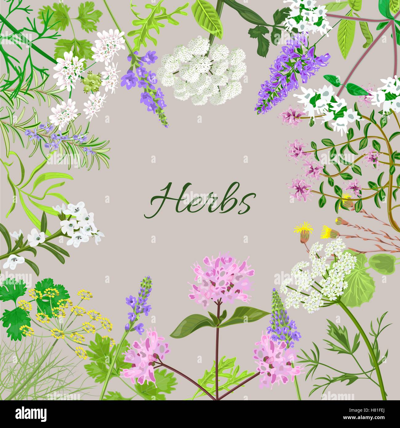 Vector card with herbal flowers. Salvia, angelica, oregano, rosemary, savory, verbena, anise, fennel, coltsfoot, - Stock Vector