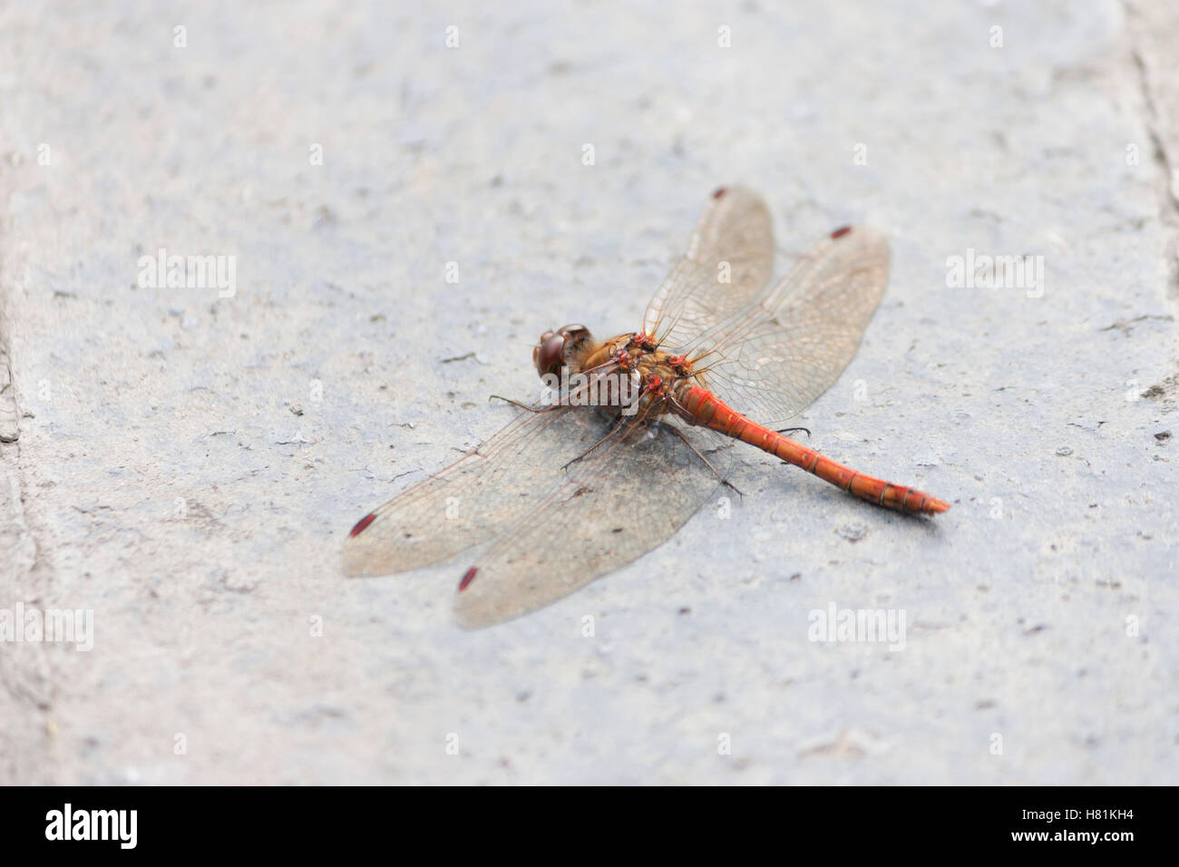 Wildlife, dragonfly, male, common red darter (Sympetrum striolatum). Stock Photo