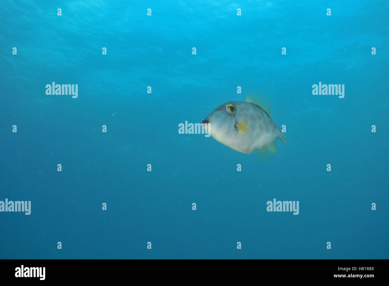 Leatherjacket hovering in blue water - Stock Image