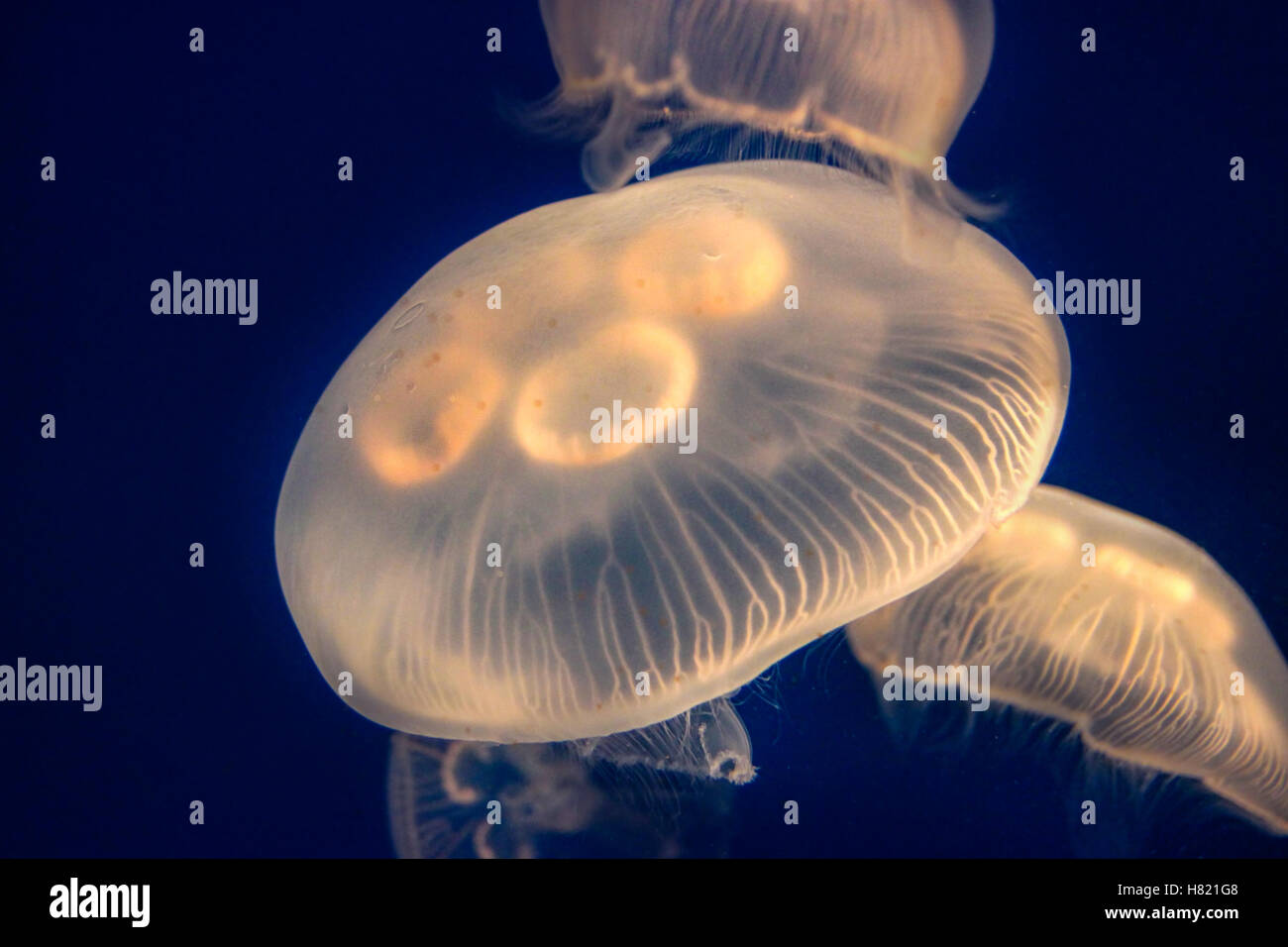 Closeup of glowing Moon Jellyfish (Aurelia Aurita) suspended in water with a soft bioluminescence (biological glowing - Stock Image