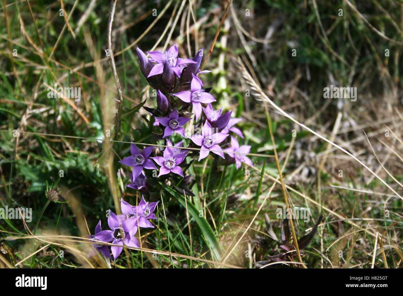Gentians (Gentiana anisodonta) at an alpine meadow in the Dolomites (South Tyrol, Italy) - Stock Image