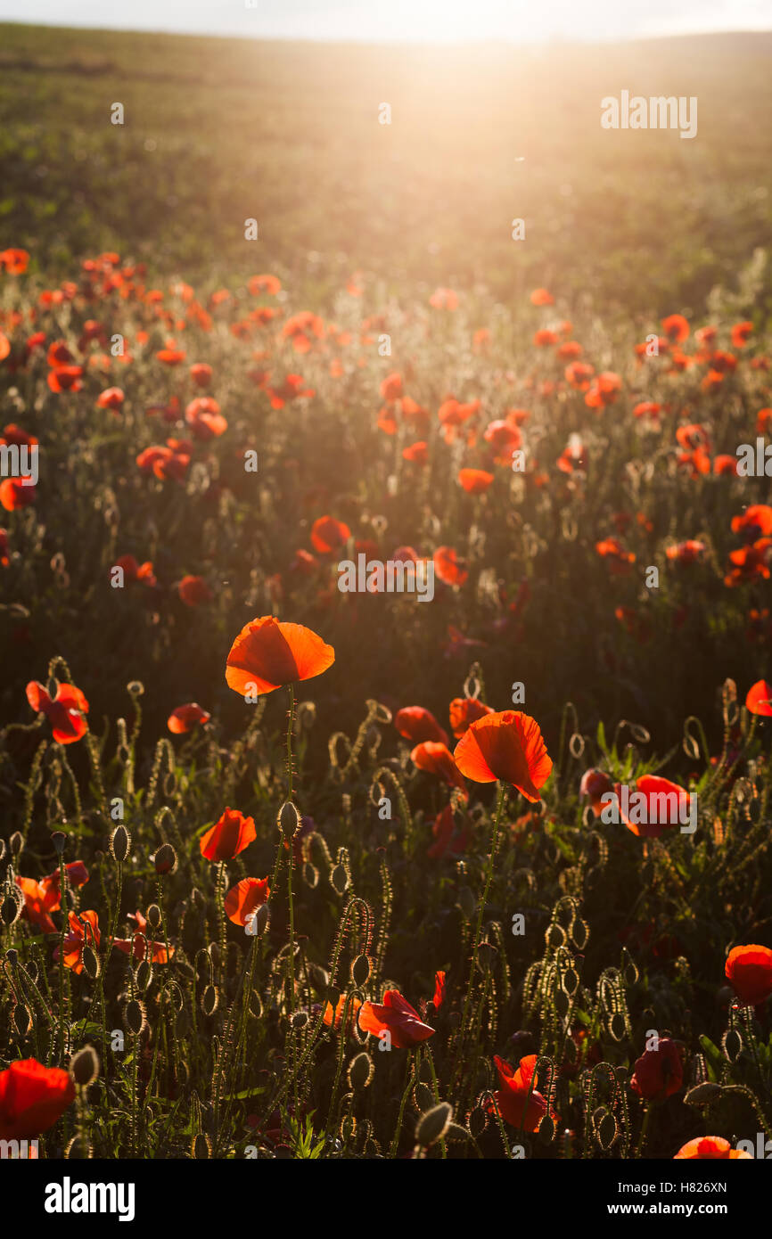 wild poppy field - Armistice day background - Stock Image