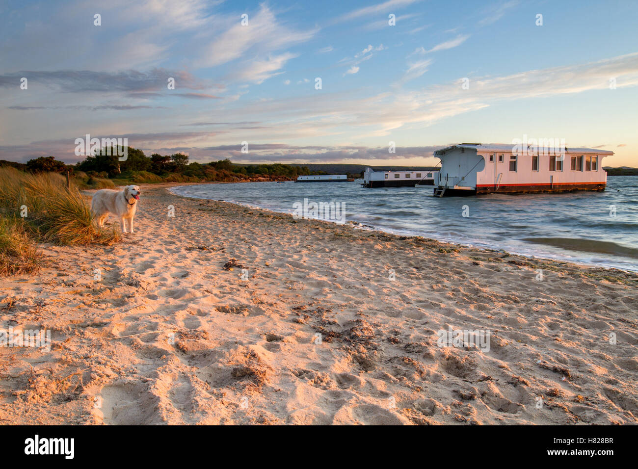 happy golden retriever dog standing on beach watching the sun setting over the bay with houseboat - Stock Image