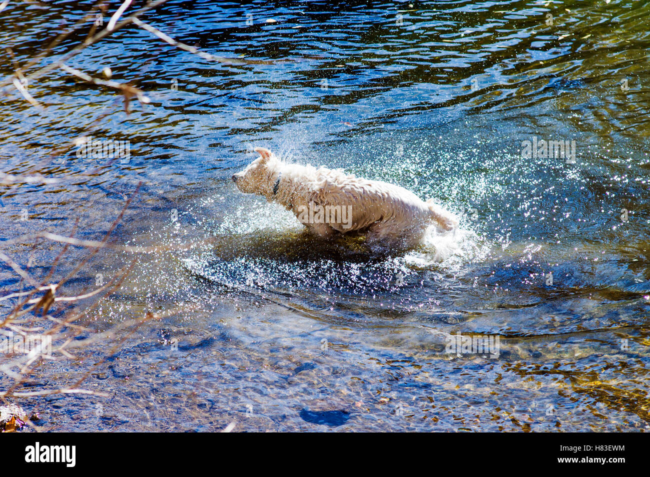 Platinum colored Golden Retriever dog shaking off in the Arkansas River, Salida, Colorado, USA - Stock Image