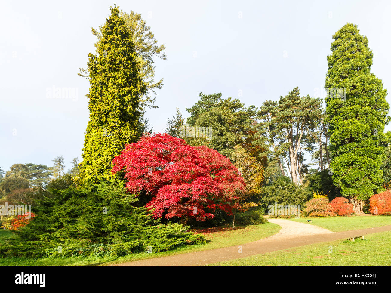 Red Acer palmatum (Japanese maple) amongst conifers in Westonbirt Arboretum near Tetbury, Gloucestershire, in autumn - Stock Image