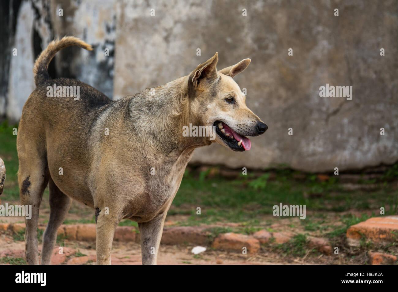 Dog panting near Ayutthaya temple - Stock Image