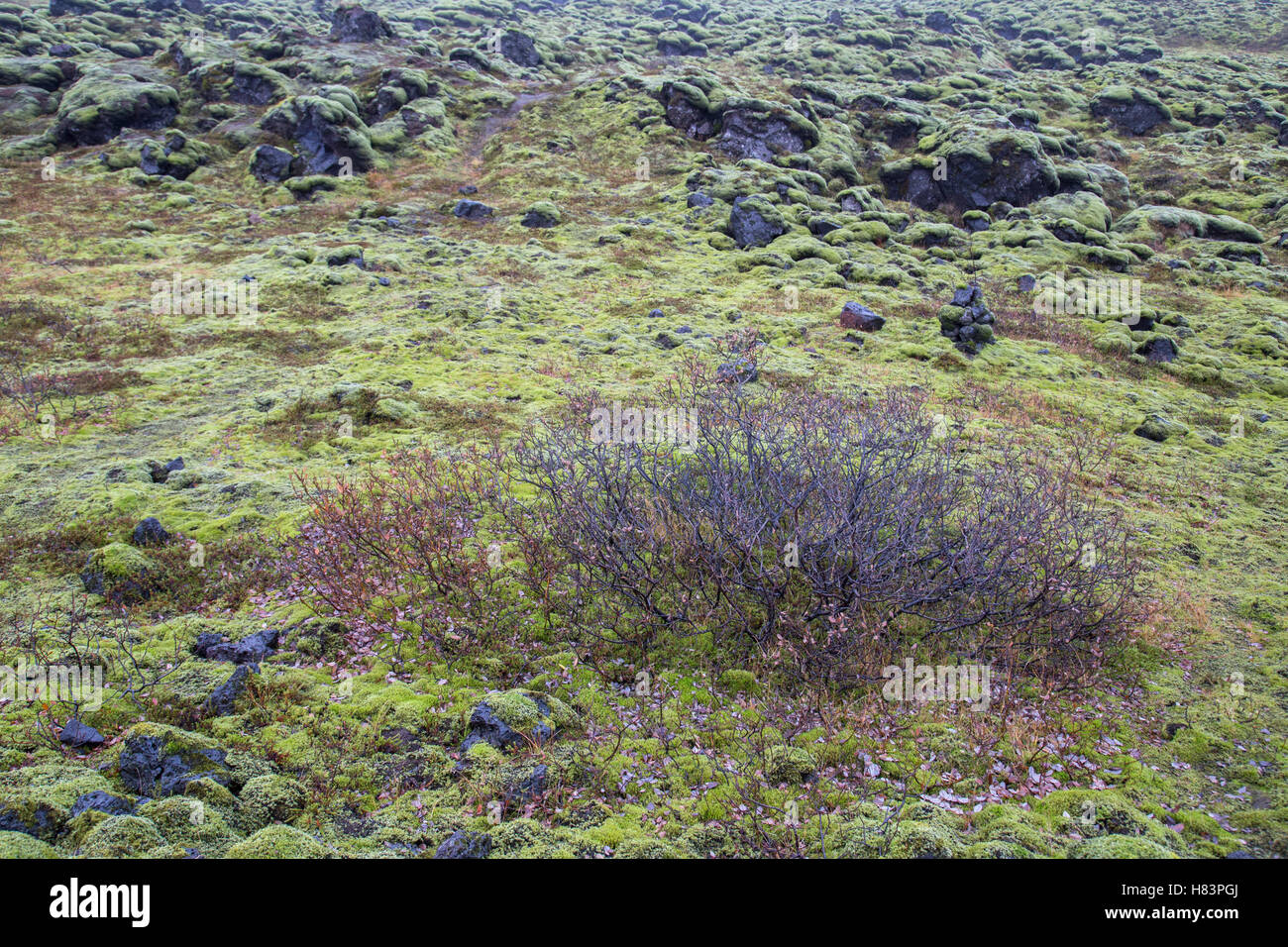 Wooly moss on volcanic rock in Eldhraun lava field Iceland - Stock Image