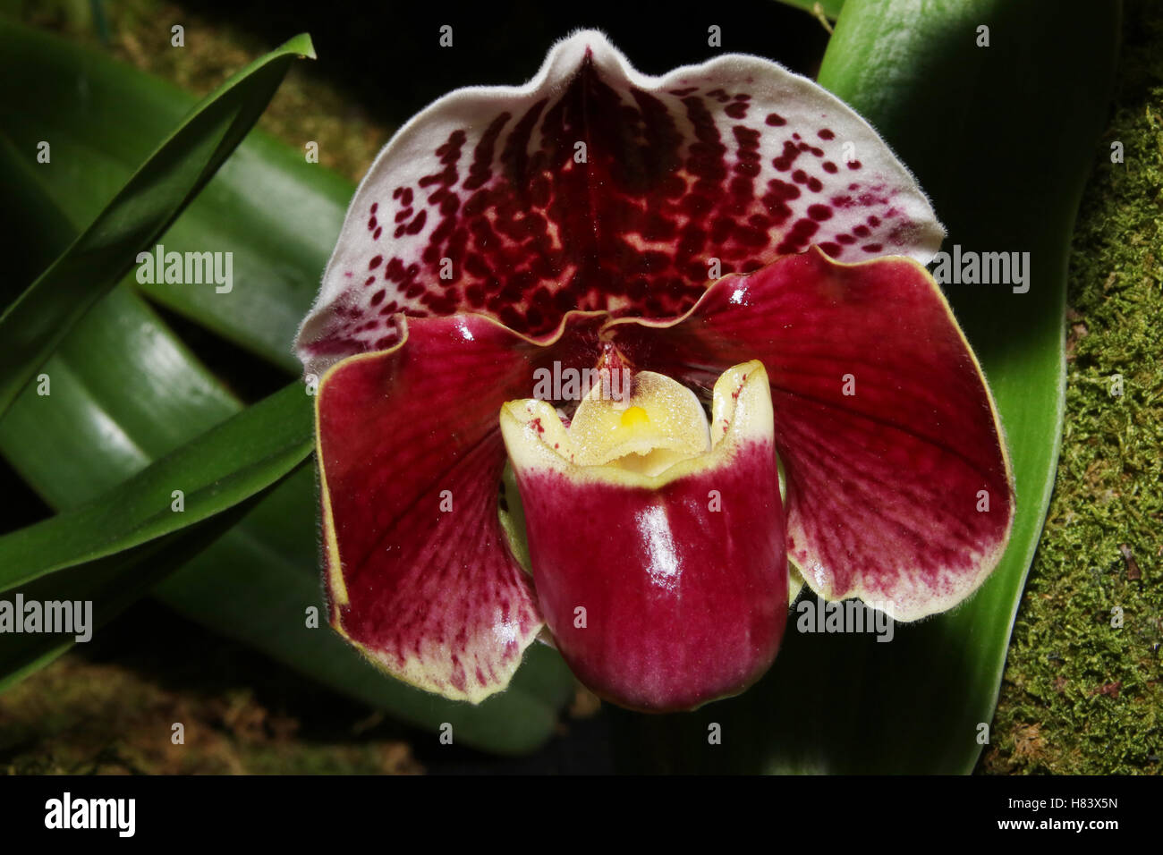 Lady Slipper Orchid. Lady's Slipper Orchid. Paphiopedilum Thunder Cat x Valwin. Orchid flower show. By the Miami - Stock Image