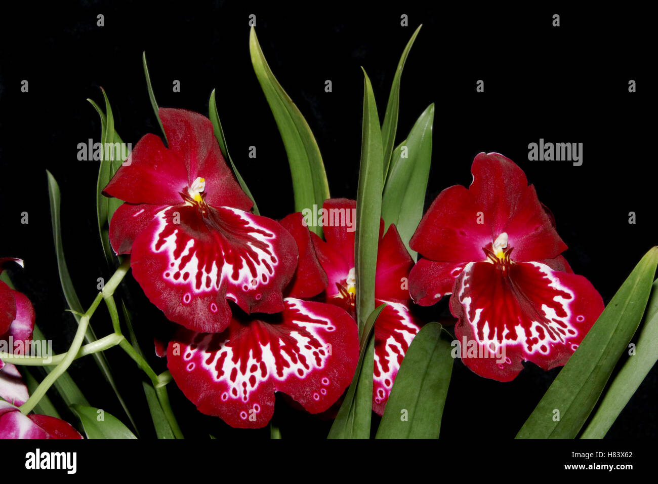 Miltoniopsis Echo Bay. Miltoniopsis Woodlands x Miltoniopsis Rose Bay. Orchid flower show. By the Miami Valley Orchid - Stock Image