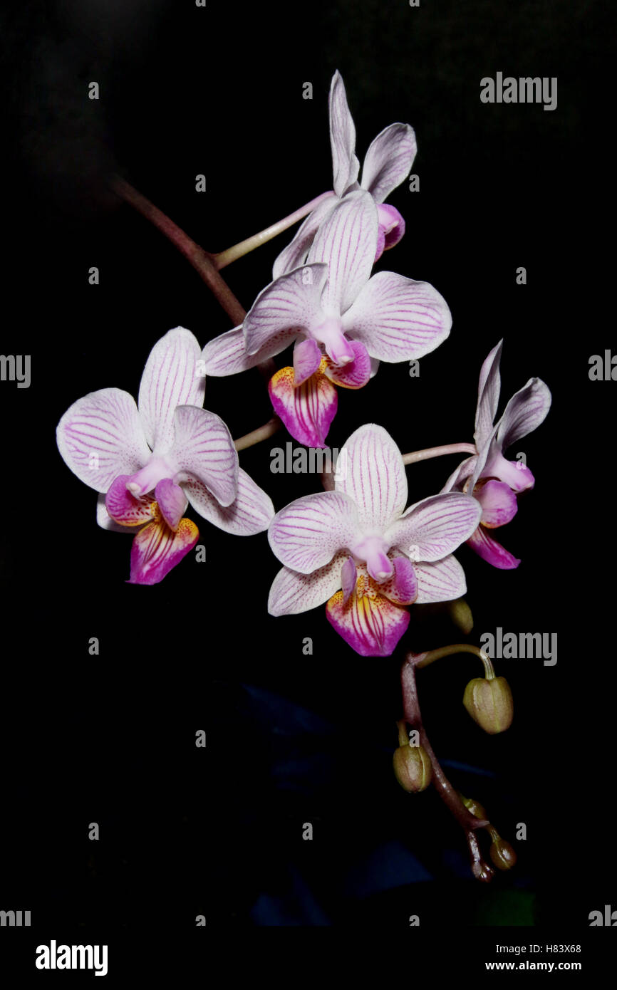 Phalaenopsis Ho's Fancy Leopard x lindenii. Orchid flower show. By the Miami Valley Orchid Society. At Cox Arboretum, - Stock Image