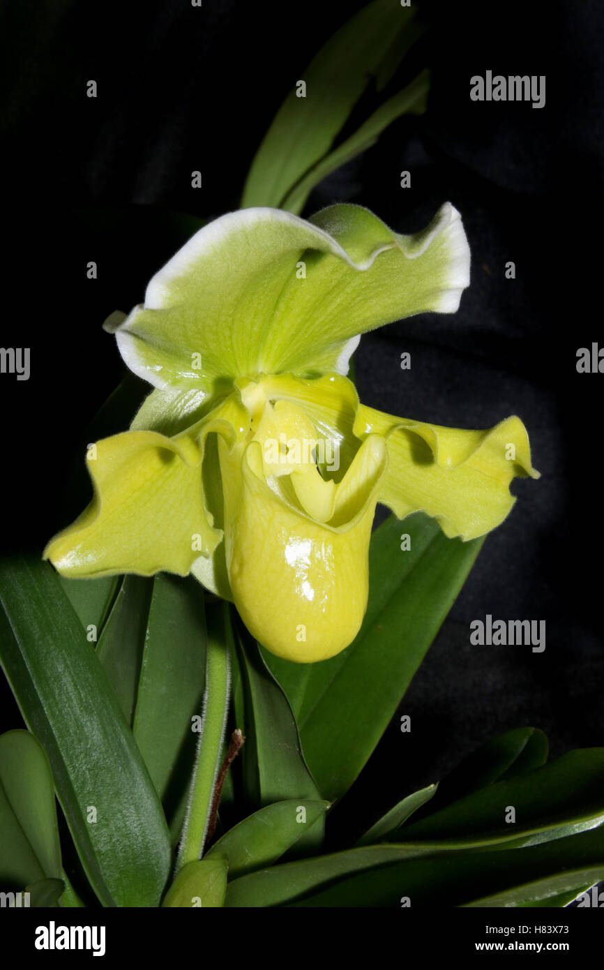 Lady Slipper Orchid. Orchid flower show. By the Miami Valley Orchid Society. At Cox Arboretum, Miamisburg, Dayton, - Stock Image