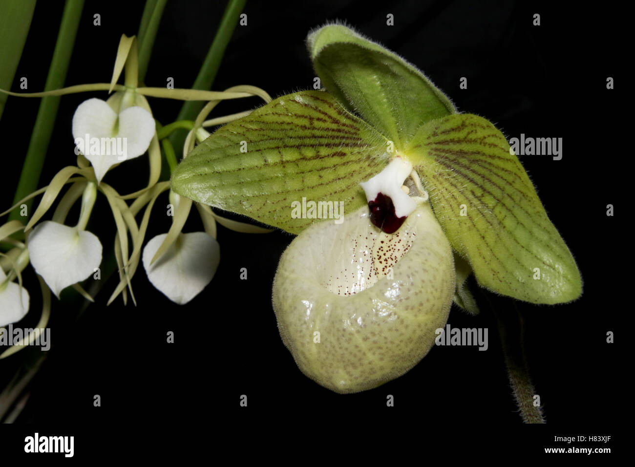 Lady Slipper Orchid. Lady's Slipper Orchid. Jade Slipper Orchid. Paphiopedilum malipoense. Orchid flower show. By - Stock Image