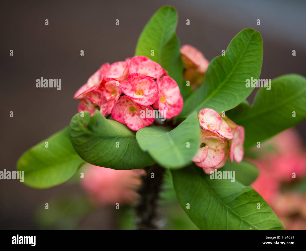 Pink Flowers In Indonesia Stock Photo 125487265 Alamy
