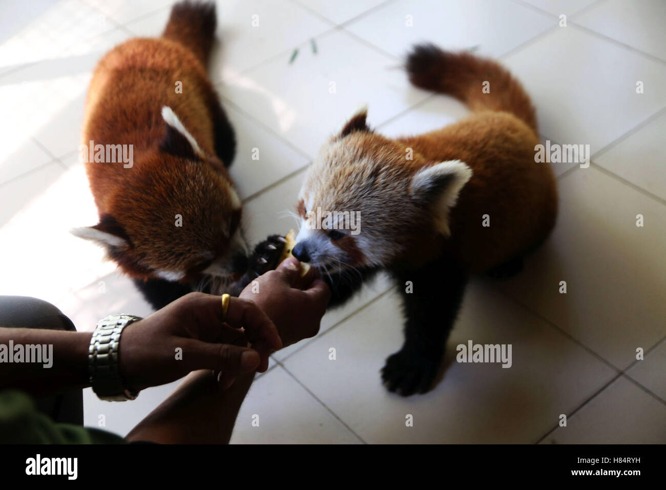 (161109) -- LALITPUR (NEPAL), Nov. 9, 2016 (Xinhua) -- Two red pandas are fed at the Central Zoo in Lalitpur, Nepal, Stock Photo