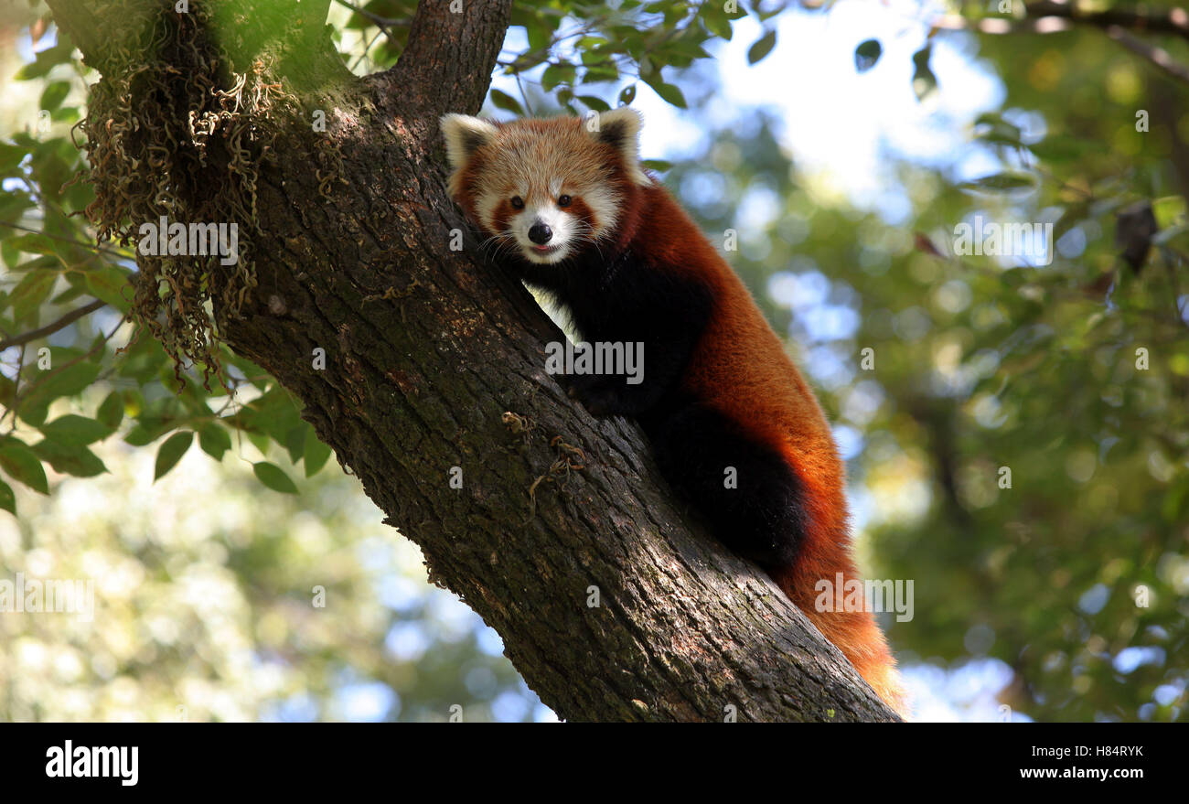 (161109) -- LALITPUR (NEPAL), Nov. 9, 2016 (Xinhua) -- A red panda rests on a tree at the Central Zoo in Lalitpur, Stock Photo