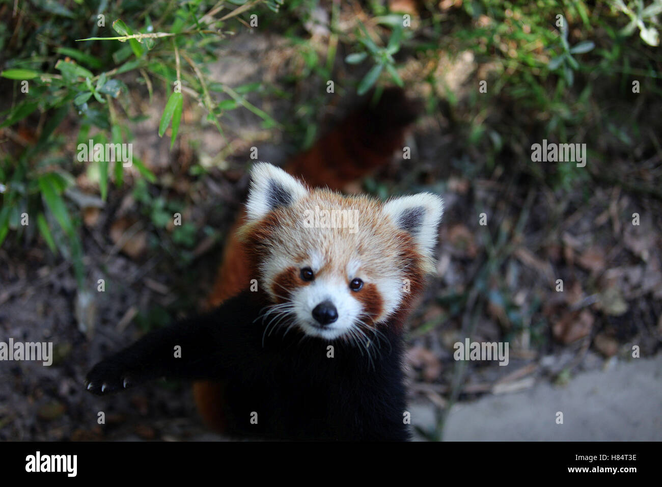 (161109) -- LALITPUR (NEPAL), Nov. 9, 2016 (Xinhua) -- A red panda waits to be fed at the Central Zoo in Lalitpur, Stock Photo