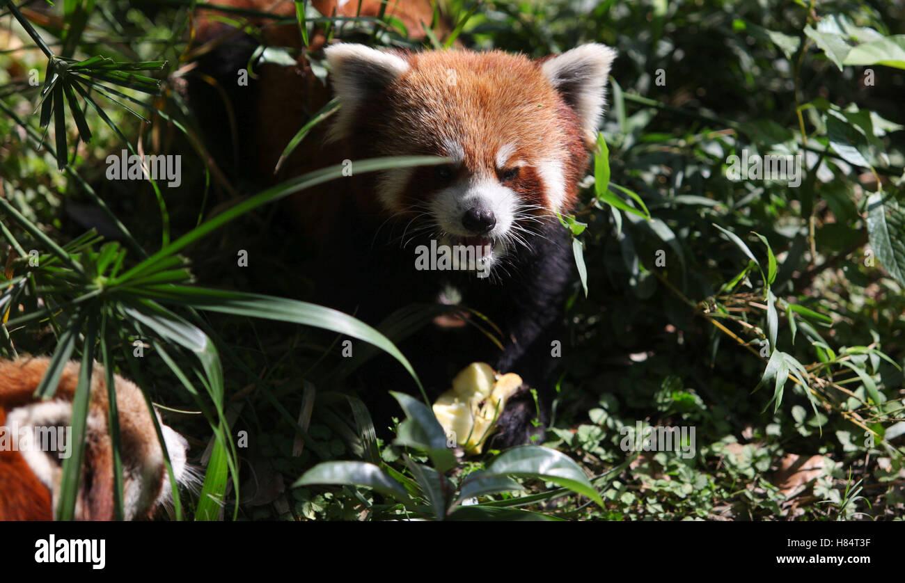 (161109) -- LALITPUR (NEPAL), Nov. 9, 2016 (Xinhua) -- A red panda eats an apple at the Central Zoo in Lalitpur, Stock Photo