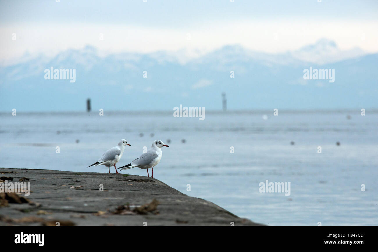 Sit Konstanz konstanz germany 9th nov 2016 two seagulls sit at the bodensee