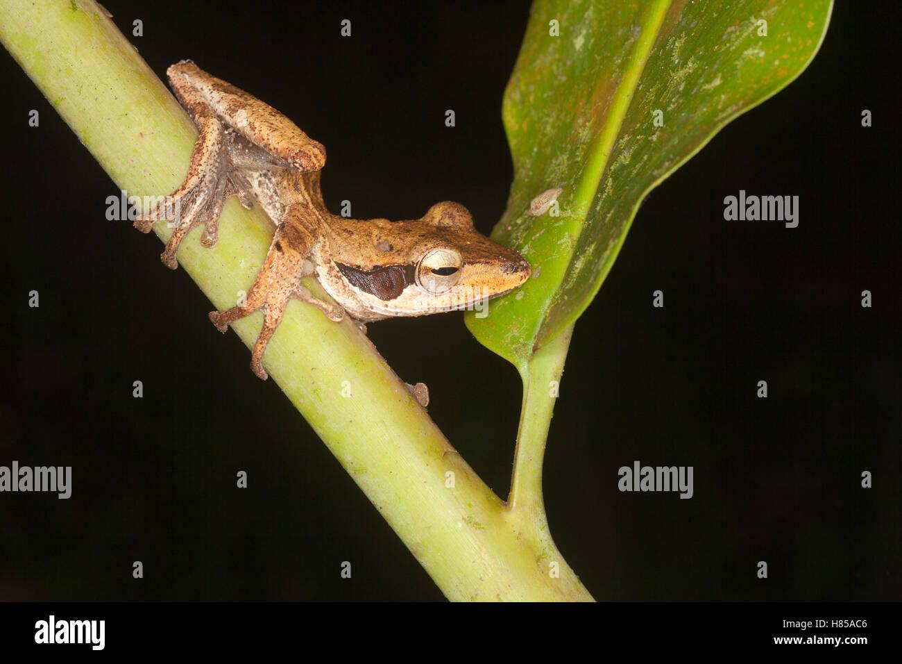 Dark-eared Tree Frog (Polypedates macrotis) in rainforest at night - Stock Image