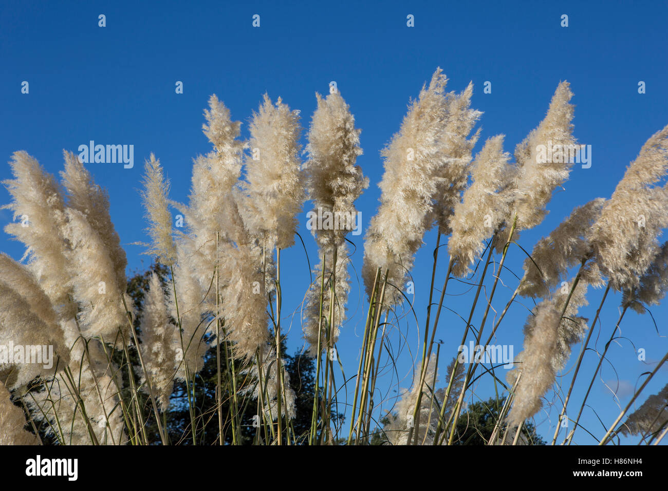 Pampas Grass, Cortaderia selloana - Stock Image