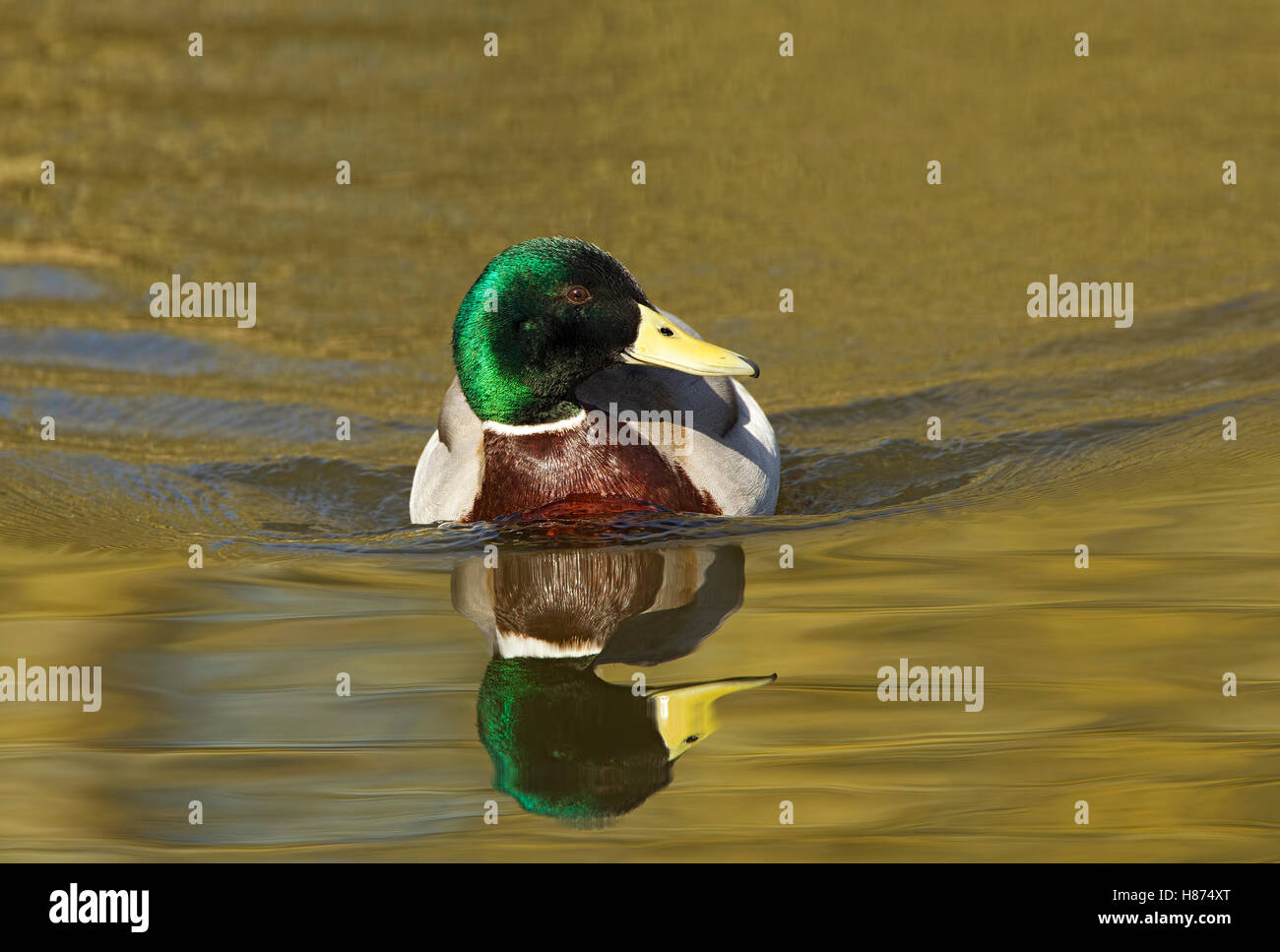 Mallard swimming forward with reflection; golden green brown glowing - Stock Image