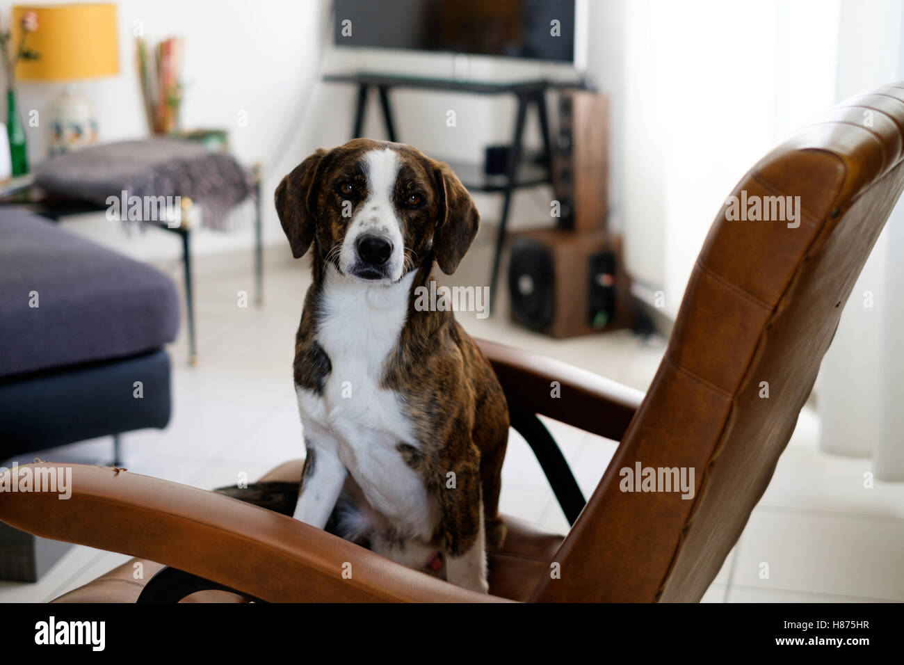 Lovely dog left alone ready for messing up home - Stock Image