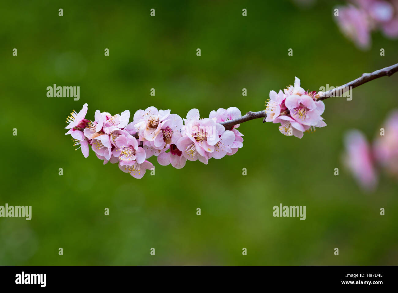 Blossom apricot tree springtime view on green background - Stock Image