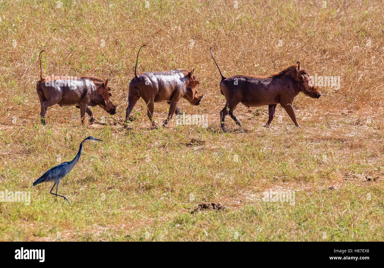Three warthog trotting with tails up and a black headed heron near a waterhole in Tsavo National Park in Kenya Africa - Stock Image