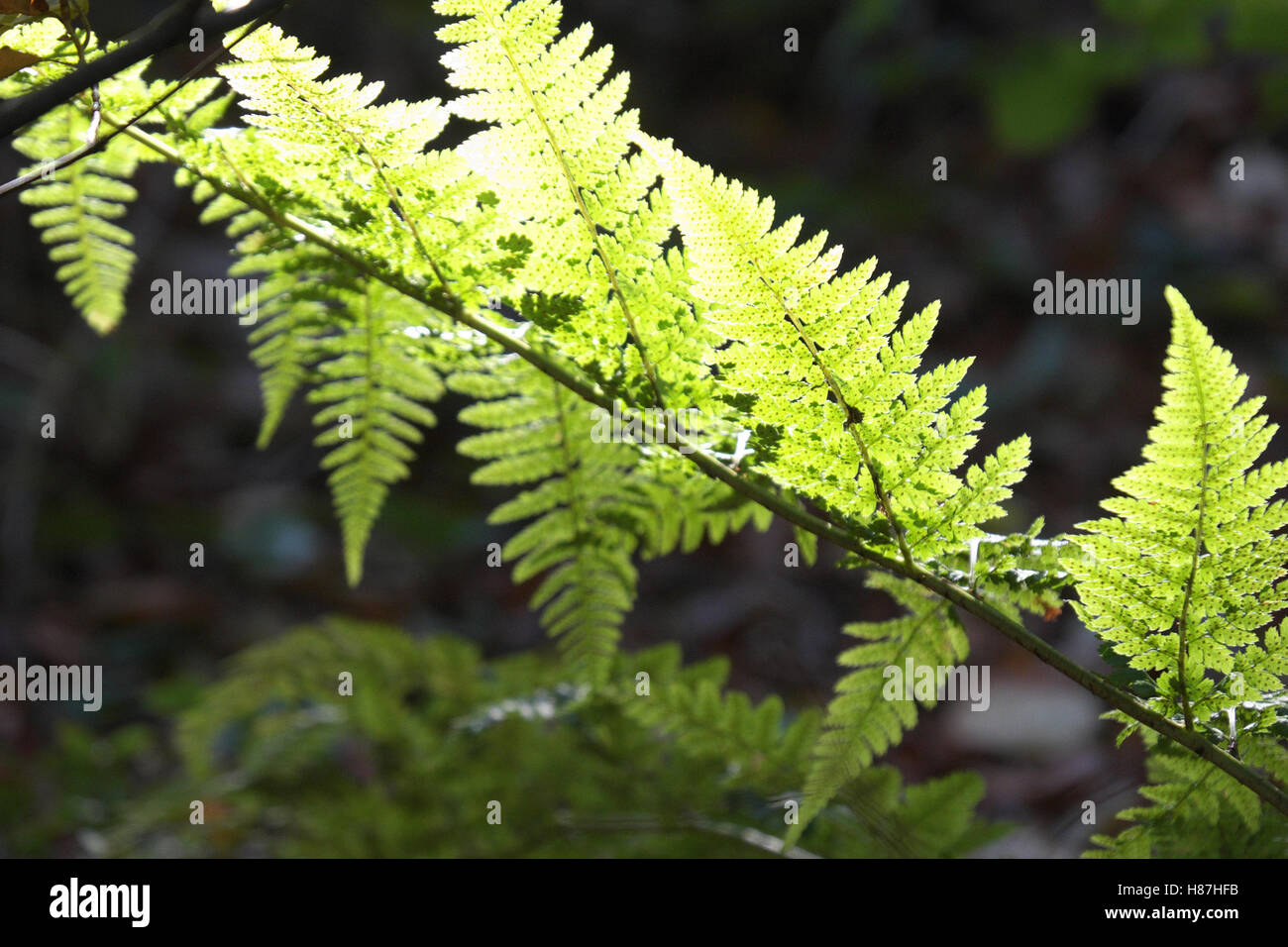 Bracken back lit - Stock Image