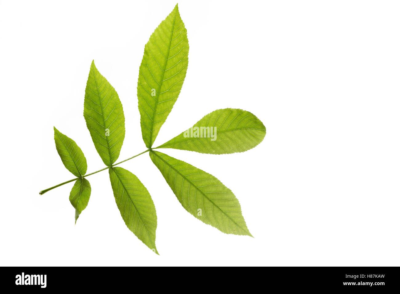 Bitternuss, Bitternuß, Carya cordiformis, bitternut hickory, Le Caryer cordiforme. Blatt, Blätter, leaf, - Stock Image