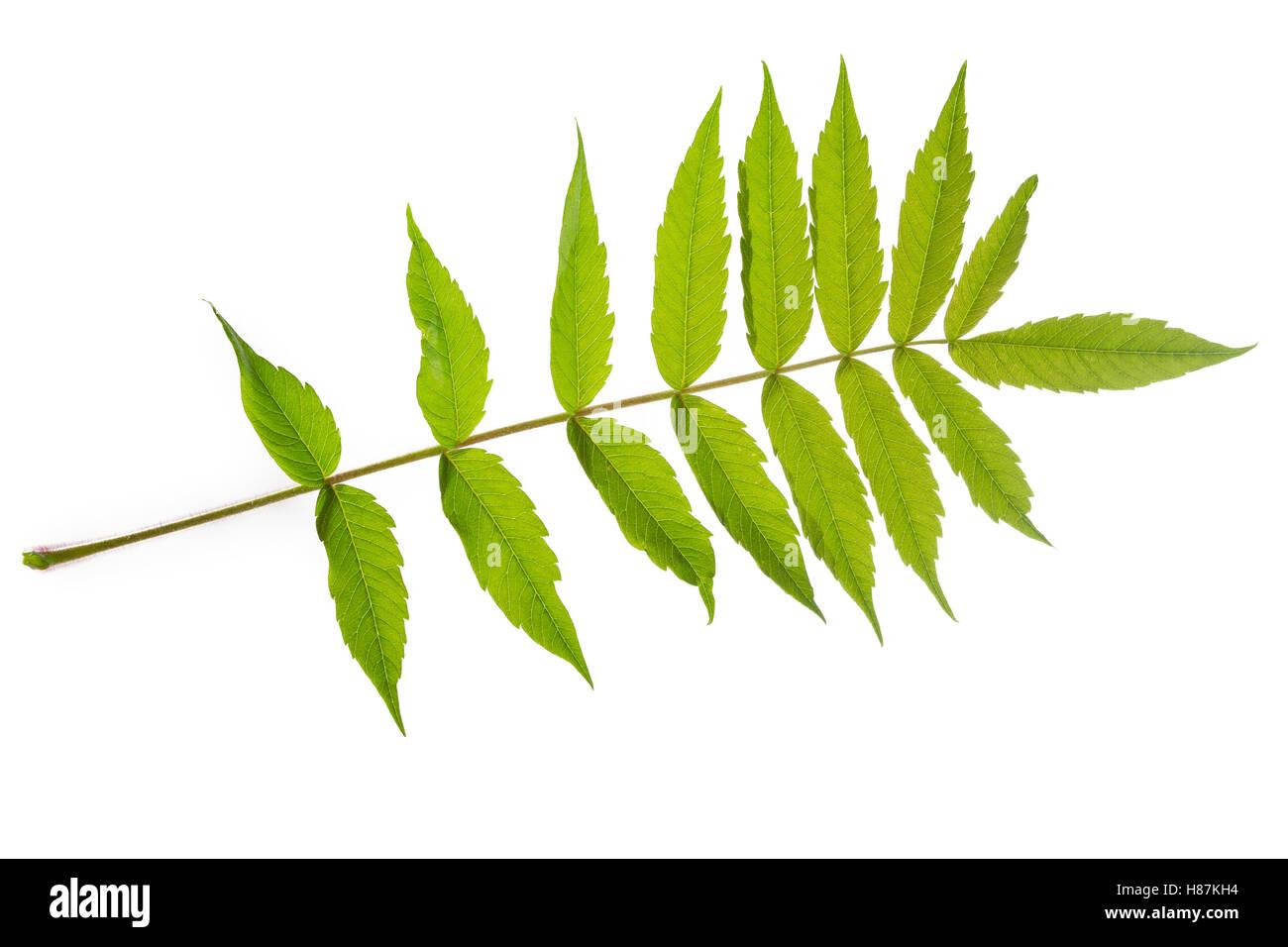 Essigbaum, Essig-Baum, Kolbensumach, Kolben-Sumach, Rhus typhina, Rhus hirta, Stag´s Horn Sumach, Le sumac - Stock Image